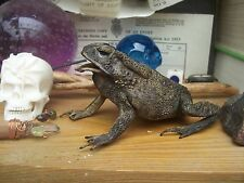 "preserved real TOAD apprx. 9 cms : 3 1/2"" : Halloween Pagan Hubble Bubble Goth"