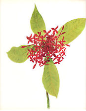 CLARENCE E HALL 1966 Book Print  IXORA Tropical Flower Oil Painting