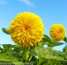 TEDDY BEAR - 150 seeds YELLOW DWARF SUNFLOWER - Helianthus Annuus ANNUAL FLOWER