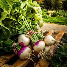 Certified Organic Purple Top Turnip Seeds (~750): Non-GMO Heirloom Seeds