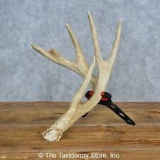 #15449 E   Whitetail Deer Taxidermy Antler Shed For Sale