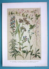 BOTANICAL PRINT 1896 Color Litho - Lungwort Bugloss Forget me Not Bindweed