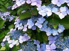 6 x HYDRANGEA BLUE WAVE plug plants