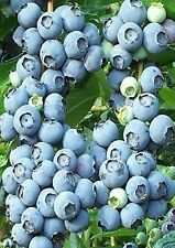 10 Rabbiteye Blueberry Seeds BERRIES PIE
