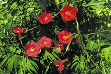 MORNING GLORY IPOMOEA QUAMOCLIT - RED FEATHER 70  SEEDS