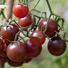 CHOCOLATE CHERRY TOMATO SEEDS * FANCY * RICH / TANGY FLAVOR * BEAUTIFUL *
