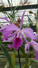 Cattleya Shinjik,(C.Maxima x C.Trianae),In Bud Now! Nice Plant!!,Free Shipping!
