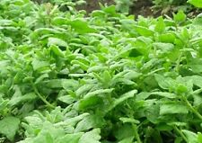 New Zealand Spinach Seeds Loves Heat 100 Seeds