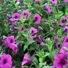 Petunia- Wild Violacea- 100 Seeds - 50 % off sale
