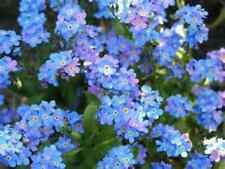 Beautiful Bright Forget-Me-Not Flowers! 30 Seeds! Comb. S/H!  See our store!
