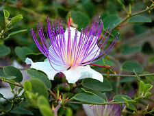 60 Caper Seeds - Capparis Spinosa - Flinders rose - Herb - Organic  ( 60 seeds )