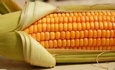 200 Corn Seed,Golden Bantam 8 row (O.P.)  Heirloom,Very Sweet !