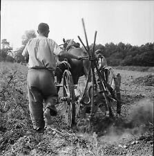 PLOBANNALEC c. 1950 - Récolte Patates Cheval Finistère - Négatif 6 x 6 - N6 BR57