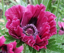 Oriental Poppy | PATTY'S PLUM | 35+ Seeds | Very Hard to Find | PERENNIAL