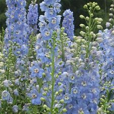 Delphinium- (Delphinium Cultorum) - Summer Skies - 50 seeds