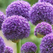 1x bulb Allium 'Gladiator'