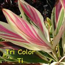 ~Tri Color Ti~ COLORFUL ~EXOTICA~Cordyline Cutting Live Hawaiian Ti Log BareRoot