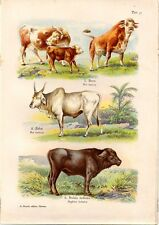 Stampa antica animali Bue Zebù Bufalo indiano 1914 Old antique print cow