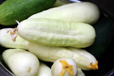 PEPINO BLANCO ITALIANO 20 Semillas SEEDS cucumber white