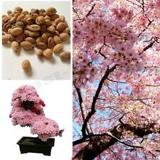 Cherry Blossom Bonsai Tree, Sakura Fower, Beautiful Pink,5 Seeds rare