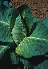 Vegetable - Cabbage - Greyhound - 10g Seeds - Large
