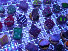 Live Coral 9 for $129 LPS Frag Pack! ! Acan Favia Chalice etc. REEF ADDCITED