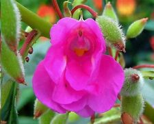 Impatiens Balsamina (touch-me-not) 20+ fresh seeds .