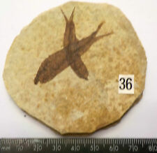 VISABLE SCALES KNIGHTIA ALTA FOSSIL FISH WYOMING 75mm GIFT fc36