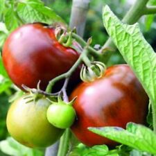 Tomato Black From Tula OUTSTANDING VARIETY BEST TASTING BLACK TOMATO PRODUCTIVE!