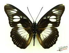 marron cream papillons Pseudacraea lucrèce tarquinia SET x1 TS un- M art Afrique