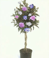 ROSE OF SHARON HIBISCUS Tree, 3-N-1 Plant Different Colors 1-2 Ft  Dormant