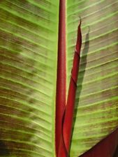 Musa sikkimensis Red Tiger (Banana). Large, Striking Indian Species.  6 seeds