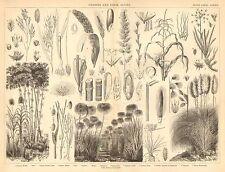 1874 stampa ~ erbe ~ miglio RISO MAIS SEGALE BAMBOO canna da zucchero Ginerio ecc.