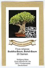 Bonsai - Ficus religiosa - Buddha-Baum (20 Samen)