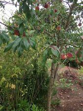 Pfirsichbaum Stecklinge/ Blühende pflegeleichte mediterrane Bäume für den Garten