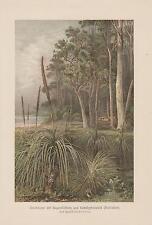 Grasbäume Xanthorrhoea Eukalyptuswald Australien LITHOGRAPHIE von 1898 Botanik