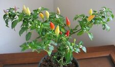 JALORO PEPPER SEEDS - HOT PEPPER VARIETY - VEGETABLE - MEXICAN DISHES - 20 Seeds