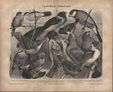 Lithografie 1878: Ausländische Stubenvögel. Vögel Grauer Astrild Tiger Fink