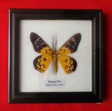 REAL ZIGZAG FLAT YELLOW BUTTERFLY TAXIDERMY INSECT PICTURE FRAME ENTOMOLOGY