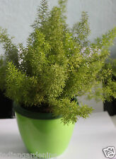 Live Asparagus Fern Plant For Tabletop Balcony 1 Plant in Pot