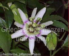 Passiflora RUBRA 5 Semillas rojo essbare Frutos PERENNE maracuyá Fruta