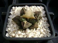 Ariocarpus fissuratus SB 413, Brewster co, Texas OWN ROOT 4 cm, Rare cactus