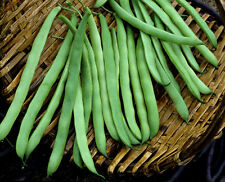 "75+ HEIRLOOM BEAN SEEDS - GREEN BEANS ""KENTUCKY WONDER"" NON-GMO POLE BEAN SEEDS!"