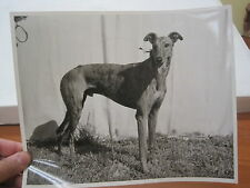 "Vintage Greyhound Dog Racing B/W 8x10"" Promo Photograph  Nov. 1955 Derby Rock"