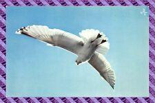 CPM 56 - oiseaux de bretagne Goéland argenté