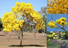 Tabebuia Chrysotricha ,Golden Trumpet tree ,10+ Seeds