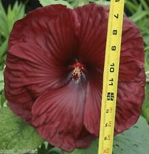 Hardy Hibiscus Seeds - HEARTTHROB - Perennial Flowering Shrub - 10 Seeds