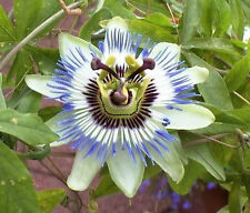 10 BLUE CROWN PASSION FLOWER VINE Passiflora Caerulea Seeds + Gift & Comb S/H