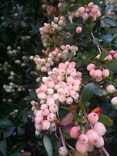 Berberis wilsoniae (20 graines/seeds )