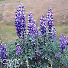 ARROYO LUPINE (Lupinus Succulentus) 50+EXTRA seeds (#812)